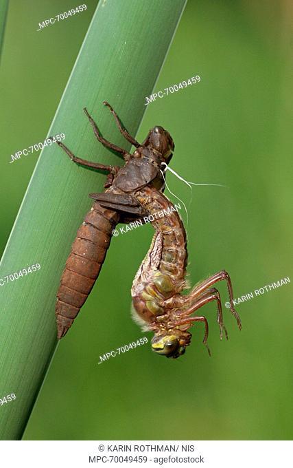 Hairy Dragonfly (Brachytron pratense) metamorphosing, Overijssel, Netherlands. Sequence 5 of 13