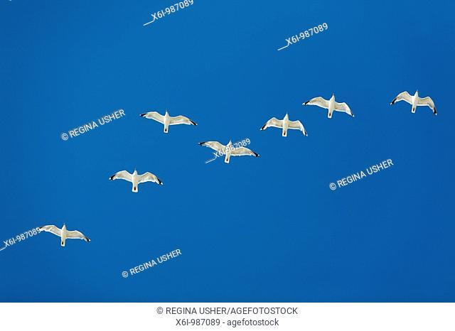 Herring Gull Larus argentatus, flock in flight, Texel, Holland