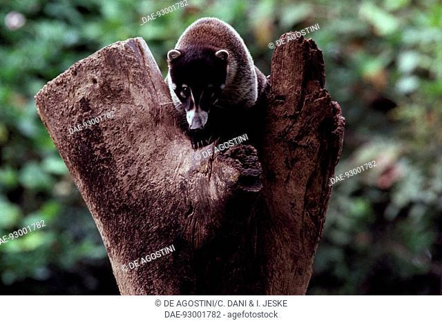 South American coati or Ring-tailed coati (Nasua nasua), Procyonidae, Mexico