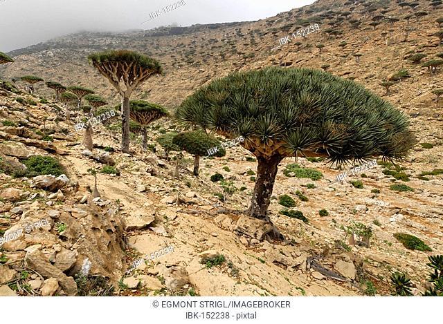 Dragon's Blood Tree on Homhil Plateau, Socotra island, UNESCO World Heritage Site, Yemen
