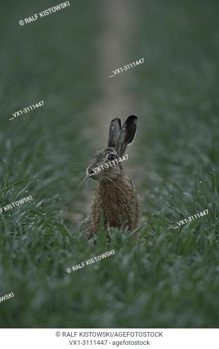 Brown Hare / European Hare / Hare ( Lepus europaeus ) sitting in a field of corn, looking around. wildlife, Europe