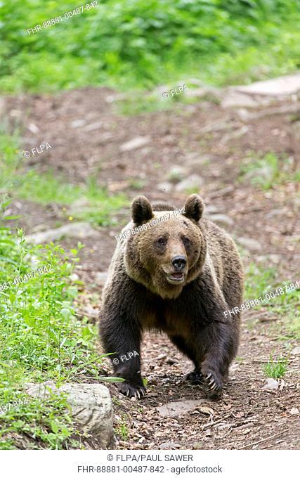 European Brown Bear (Ursus arctos arctos) adult, walking in woodland clearing, Transylvania, Romania, June