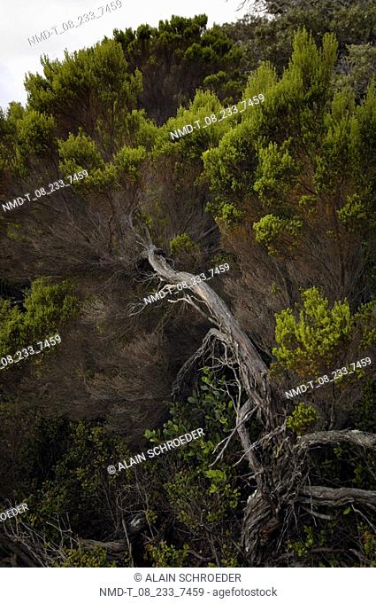 Low angle view of trees in a forest, Cape Peninsula National Park, Cape Town, Western Cape Province, South Africa