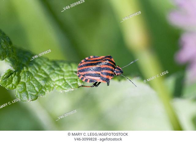 """Red and Black Stinkbug, Graphosoma Lineatum is a large, remarkable shield bug with red and black stipes about 8â. """"12 mm, 0. 31â. """"0. 47 in"""