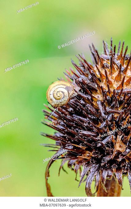Purple coneflower, Echinacea purpurea, seedling, smaller banded snail, Cepaea hortensis