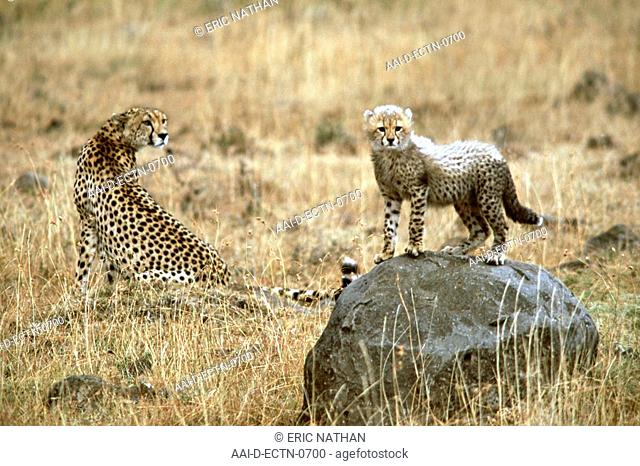A female cheetah Acinonyx Jubatus wth her cub in the Masai Mara game reserve in Kenya