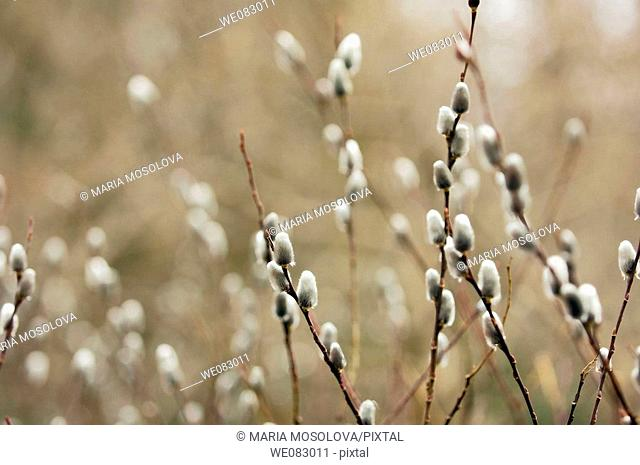 Pussy Willow (Salix gracilistyla)