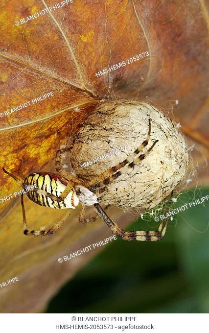 France, Araneae, Araneidae, Wasp spider (Argiope bruennichi), female and its cocoon