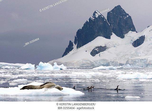 Leopard Seal (Hydrurga leptonyx), male, sleeping on an ice floe, and Gentoo Penguins (Pygoscelis papua) swimming in the water