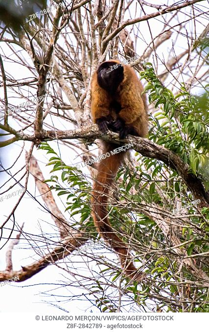 Masked titi monkey (Callicebus personatus), photographed in Linhares/Sooretama, Espírito Santo - Brazil. Atlantic forest Biome. Wild animal