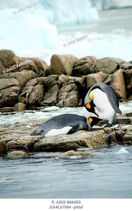 King Penguins (Aptenodyptes patagonicus), Falkland Islands