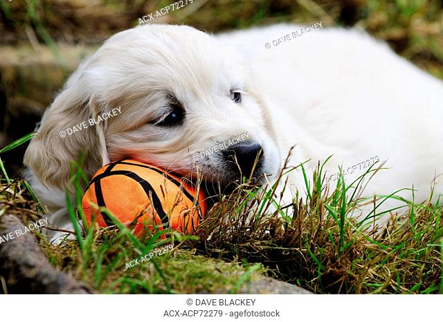 Purebred English Golden Retriever puppy resting on a soft orange ball