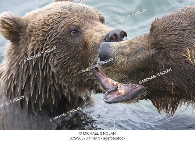 Mother brown bear sow Ursus arctos mock fighting with her two-year old cub at the Brooks River in Katmai National Park near Bristol Bay, Alaska