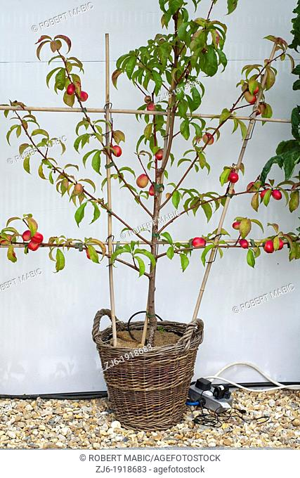 Nectarine in wicker container, London England