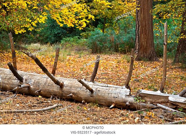 MAPLE TREES and a fallen log in autumn - YOSEMITE NATIONAL PARK, CALIFORNIA - Yosemite,USA, 01/01/2016