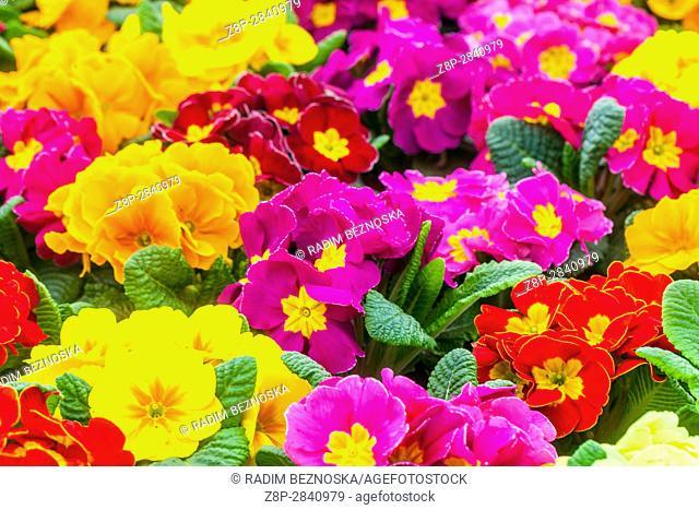 Primrose, Primula acaulis, Primula vulgaris