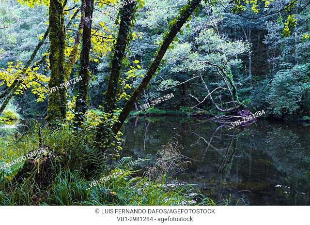Dense Galician native forest by the river Sor. Ponte Segade, Lugo province, Galicia, Spain, Europe