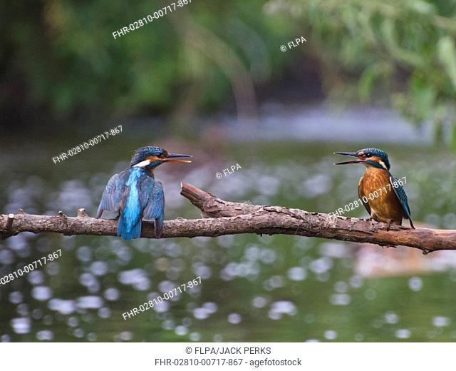 Common Kingfisher (Alcedo atthis) adult with chick begging for food, perched on branch over river, River Trent, Nottinghamshire, England, July
