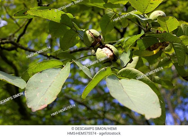 France, Isere, South Gresivaudan, a branch of walnut with walnut bugs in the production area of the AOC Grenoble walnuts near Vinay
