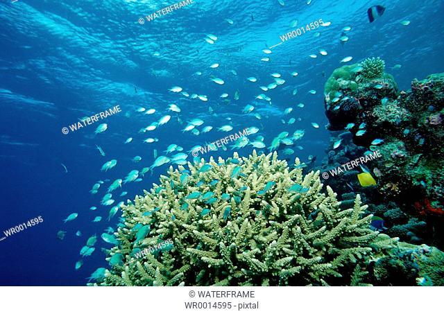 Coral Fishes at Coral Reef, Chromis viridis, Indian Ocean, Maldives