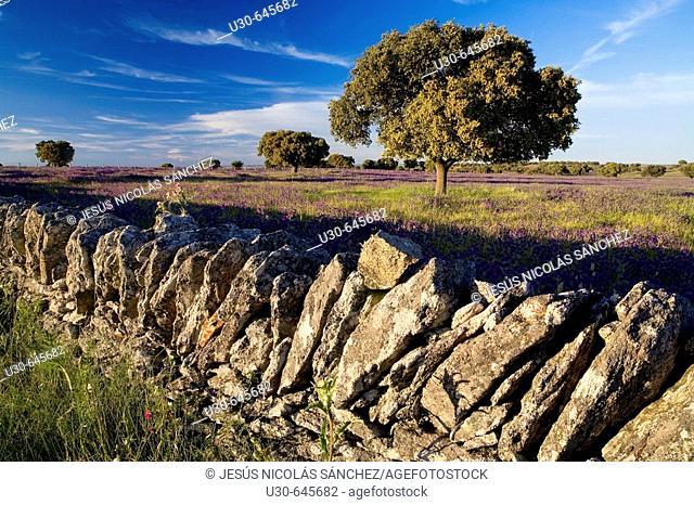 Quercus ilex. Zafrón. Salamanca province. Castilla-León. Spain