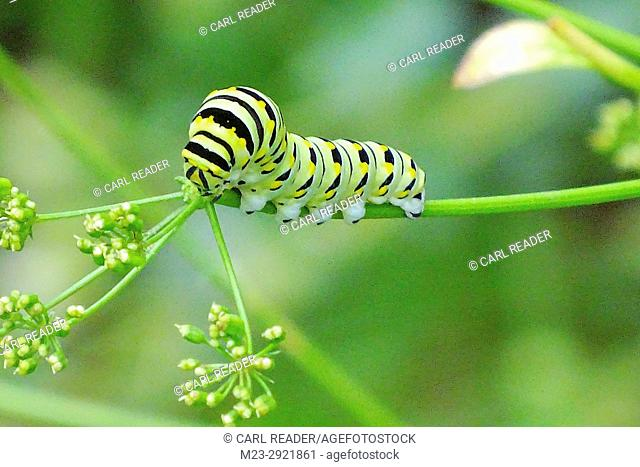 A monarch butterfly caterpillar, danaus plexippus, on parsley, Pennsylvania, USA