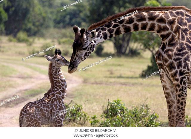 Giraffe (Giraffa camelopardalis). Mother and young sniffing at each other. Masai Mara, Kenya
