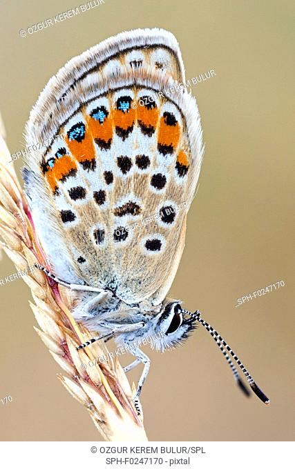 Idas blue (Plebejus idas) butterfly on a dried spike
