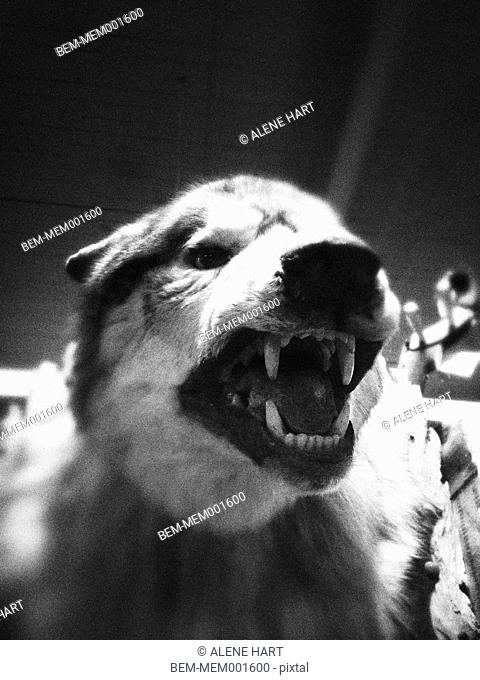 Close up of growling dog taxidermy