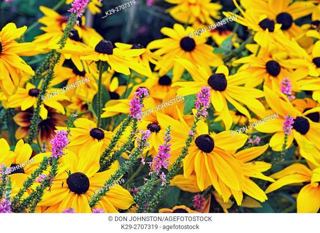 Late-summer garden flowers, Greater Sudbury, Ontario, Canada