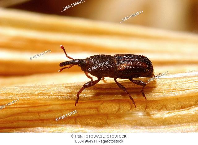 Snout beetle. Sitophilus zeamais, Curculionidae, Coleoptera. 2012