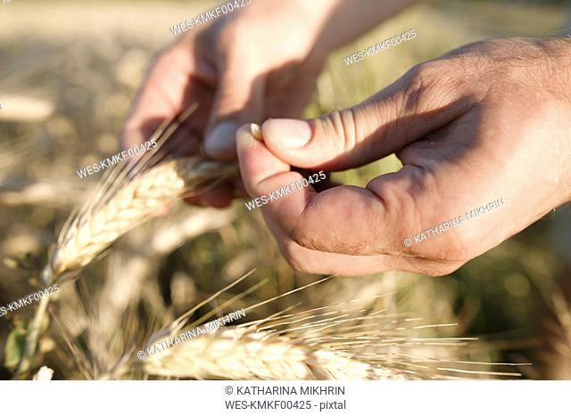 Man's hand holding wheat ear and grain