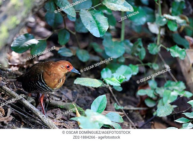Red-legged Crake Rallina fasciata in a forest ground  Kaeng Krachan National Park  Thailand