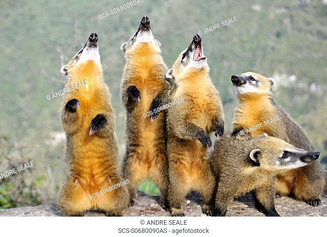 Wild coatis, Nasua nasua, pose for photos as they wait for food from tourists at the top of Serra do Rio do Rastro, Santa Catarina, Brazil