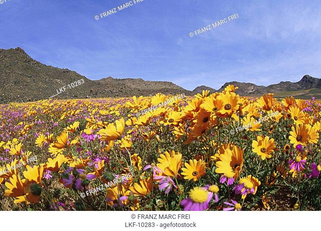 Flower meadow in the sunlight in spring, Namaqualand, South Africa, Africa