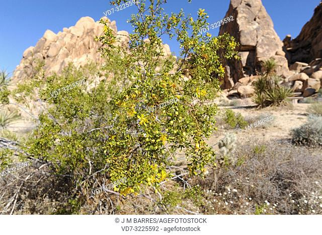 Creosote bush (Larrea tridentata) is a medicinal evergreen shrub native to western USA deserts and north Mexico. This photo was taken in Joshua Tree National...