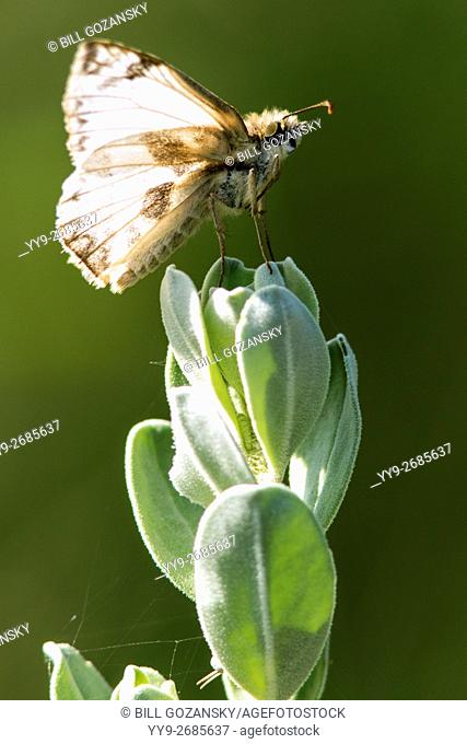 White Skipper Butterfly - Camp Lula Sams, Brownsville, Texas USA