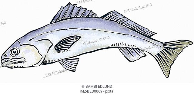 White sea bass