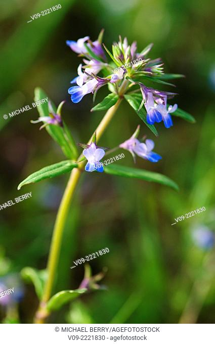Blue-Eyed Mary Wildflower