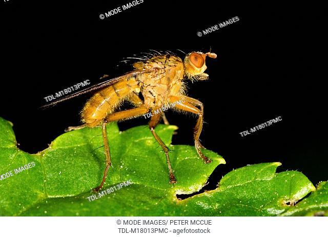 A golden dung fly, Scathophaga stercoraria