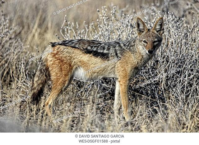 Namibia, Etosha National Park, Black-backed Jackal