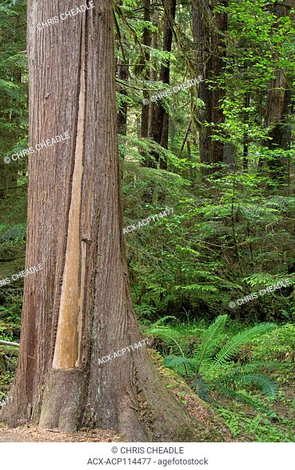 Golden Spruce trail, Port Clements, Culturally modified cedar tree, Haida Gwaii, formerly known as Queen Charlotte Islands, British Columbia, Canada