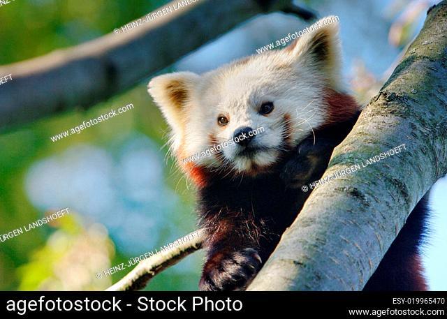 Kleiner Panda, Ailurus fulgens, Red Panda