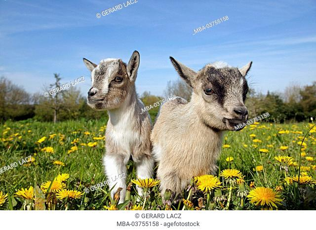 Pygmy domestic goat or Dwarf Goat, capra hircus, 3 Month old Young with Flowers