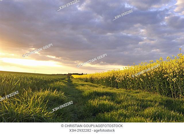 path on the edge of a rapeseed field, Eure-et-Loir department, Centre-Val de Loire region, France, Europe