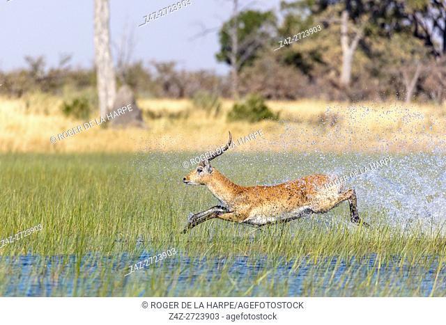 Red lechwe (Kobus leche leche). Okavango Delta. Botswana