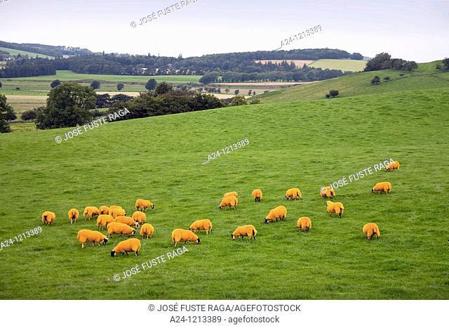 UK-Scotland-August 2010 Herd near Edinburgh