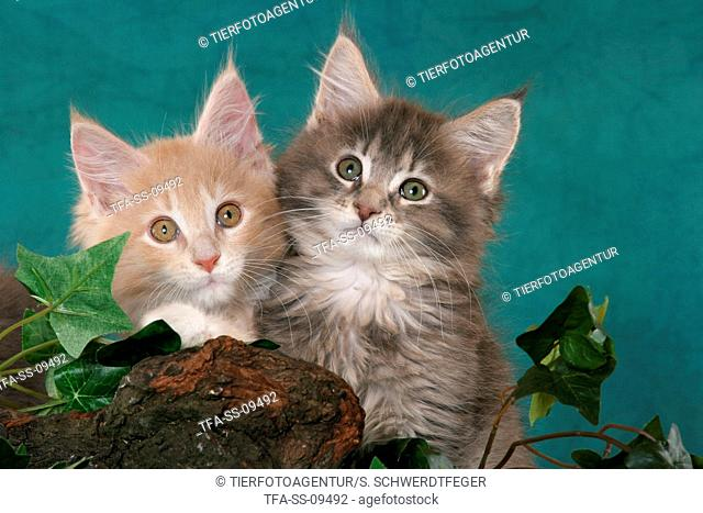 2 Maine Coon Kitten