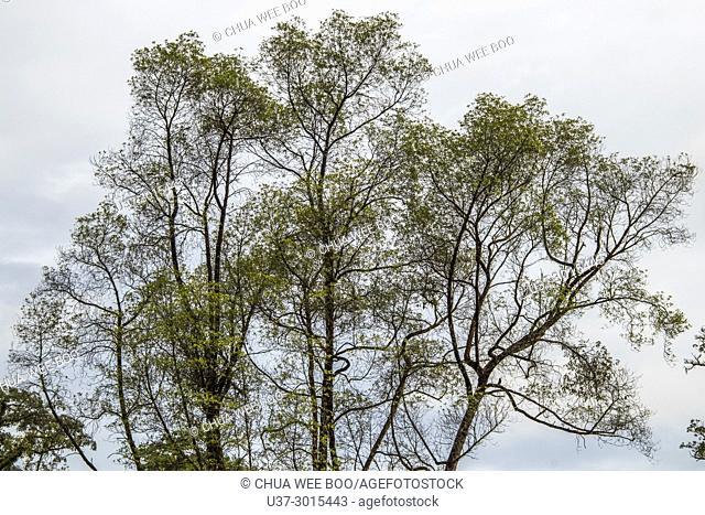 Trees at Jalan Uplands, Kuching, Sarawak, Malaysia