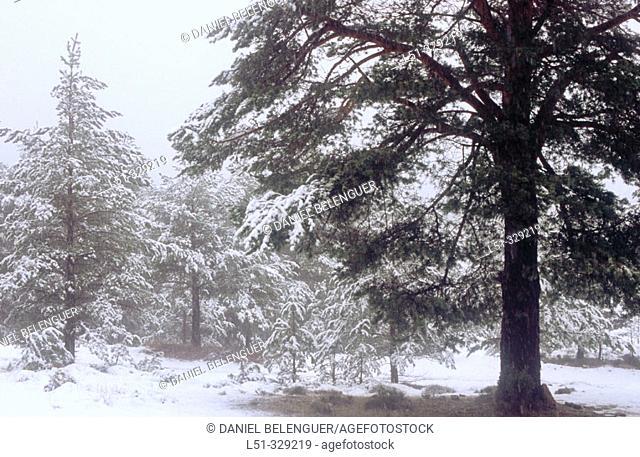 Snow on forest in Penyagolosa. Castellon province. Comunidad Valenciana. Spain